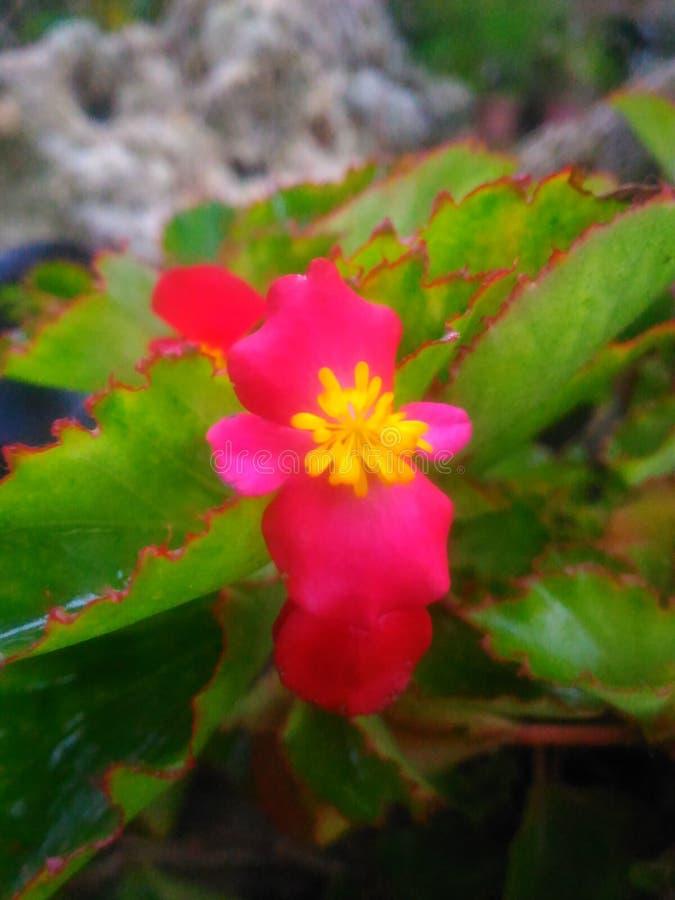 Fiore di cui Filippine molto minuscole fotografia stock