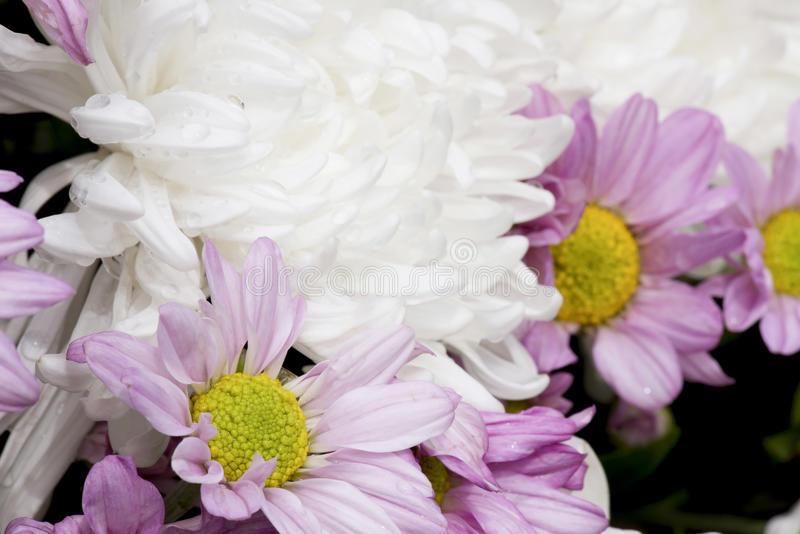 Fiore di Dendranthemum fotografia stock libera da diritti