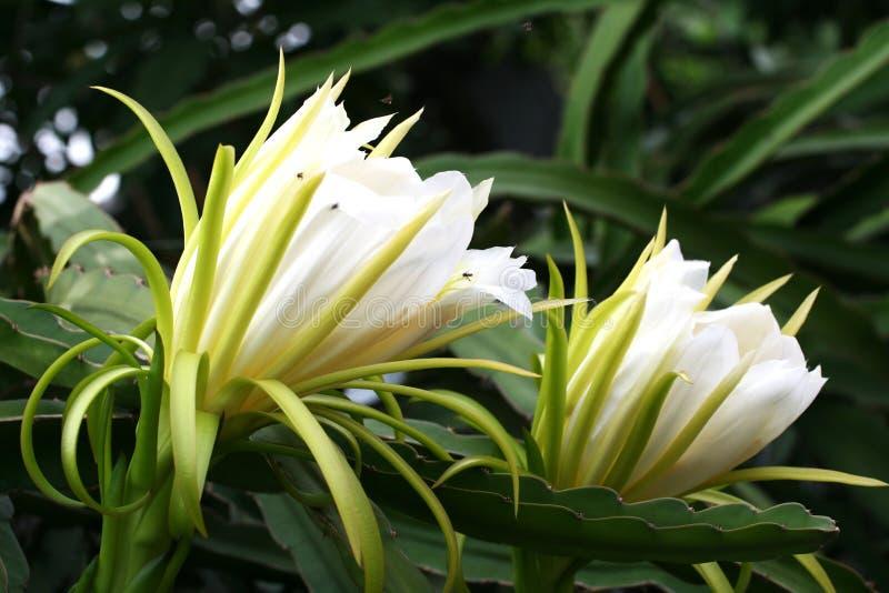 Fiore di Dragon Fruit di due bianchi contro la terra posteriore con bokeh immagini stock libere da diritti