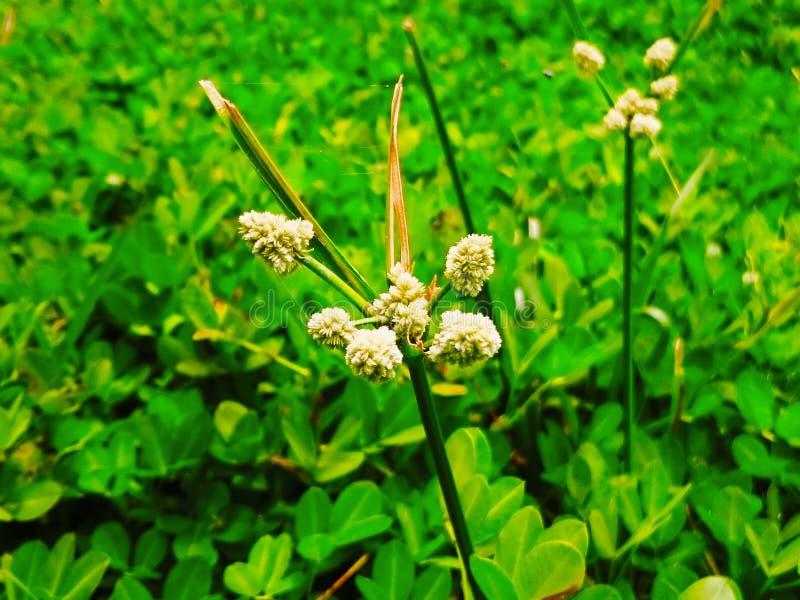 Fiore di erba fotografie stock