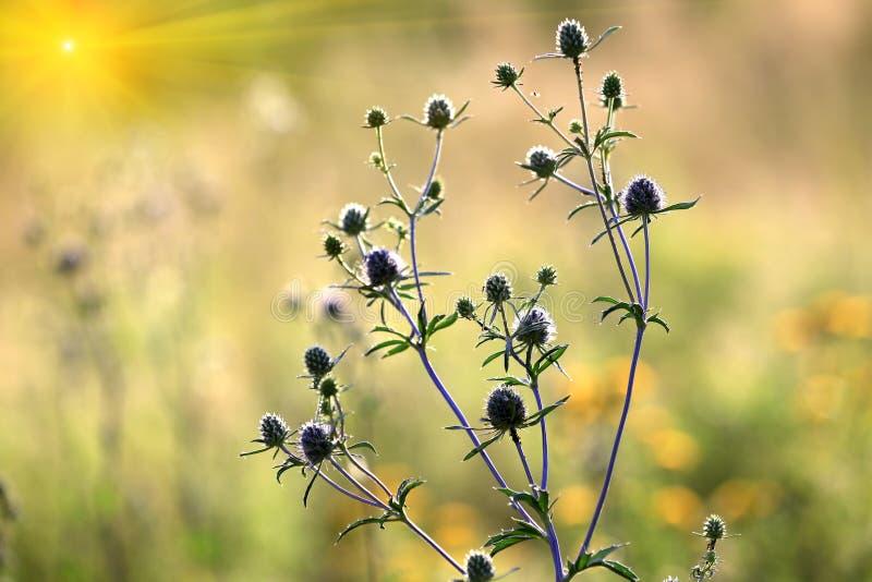 Fiore di estate sul prato fotografia stock libera da diritti