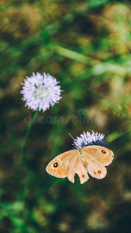 Fiore di farfalla di Brown fotografie stock libere da diritti