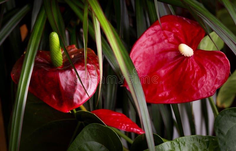 Fiore di fenicottero fra le foglie della dracena delle Canarie immagini stock