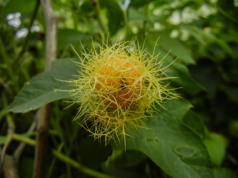 Fiore di fetore di passione del foetida- della passiflora, amore-in-un-foschia, vite di strisciamento di schiocco di funzionament immagine stock libera da diritti