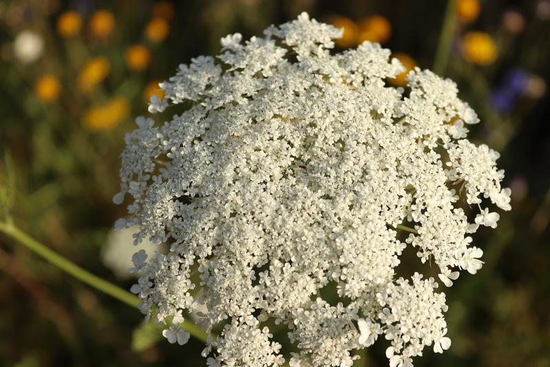 Fiore di fioritura bianco sui campi immagini stock libere da diritti