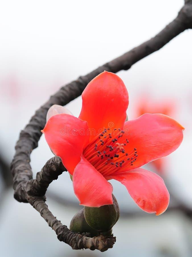 Fiore di fioritura del capoc in primavera fotografia stock libera da diritti