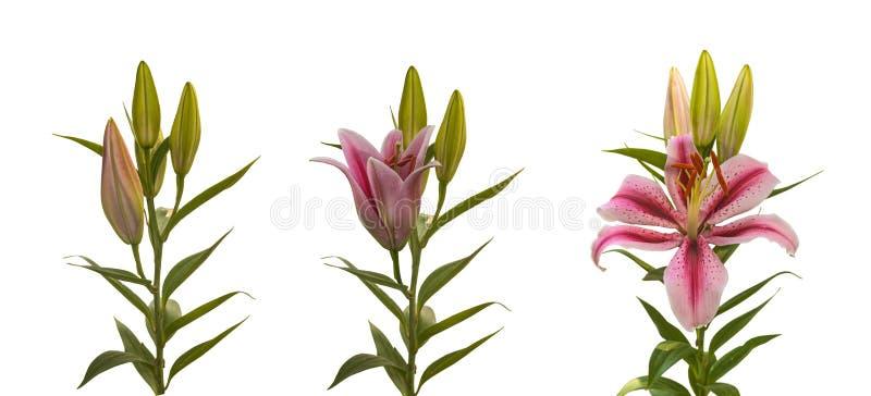 Fiore di fioritura delle fasi degli OT-ibridi del Lilium con i germogli su un whi fotografia stock