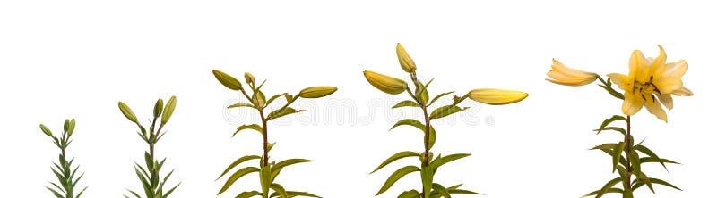 Fiore di fioritura delle fasi degli OT-ibridi del Lilium dei gigli fotografia stock libera da diritti