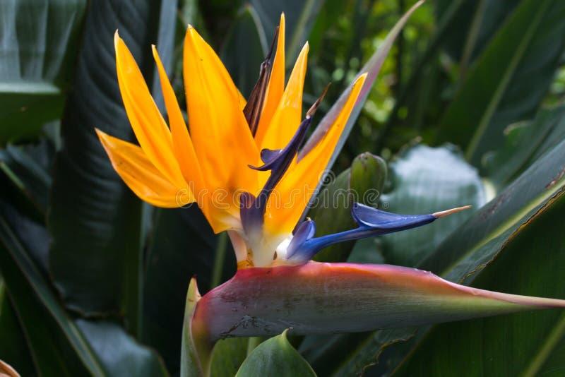 Fiori Uccelli Del Paradiso.Fiore Di Fioritura Dello Strelitzia Reginae Arancia Lunga