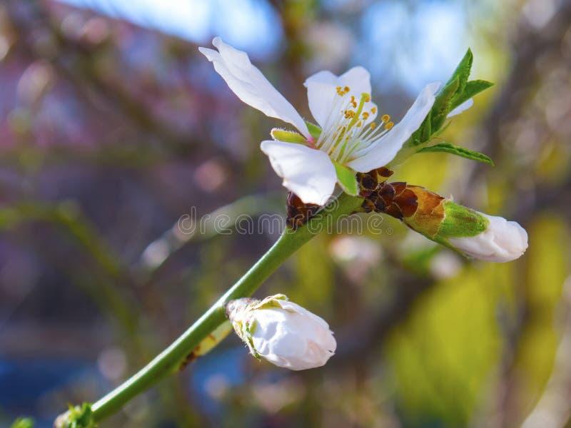 Fiore di fioritura piacevole dell'albero da frutto fotografia stock