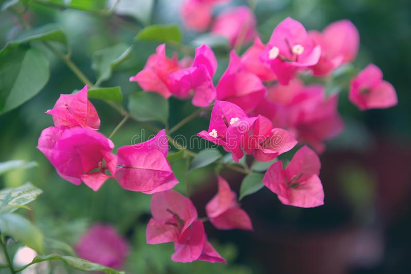 Fiore di fioritura rosa della buganvillea Struttura e fondo immagine stock