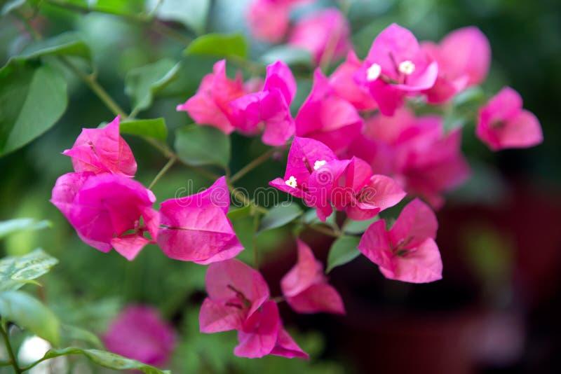Fiore di fioritura rosa della buganvillea Struttura e fondo immagini stock libere da diritti