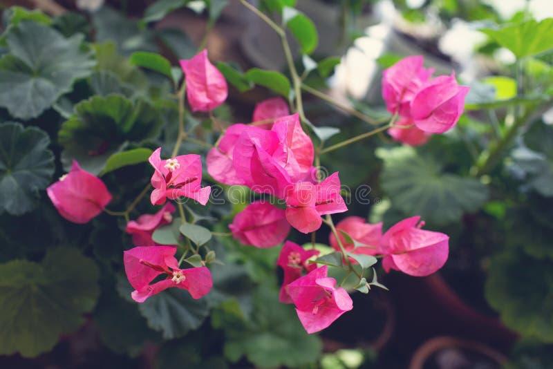 Fiore di fioritura rosa della buganvillea Struttura e fondo tonalit? fotografie stock libere da diritti
