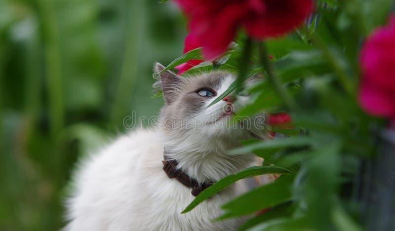 Fiore di fiuto del gatto di Ragdoll immagine stock libera da diritti