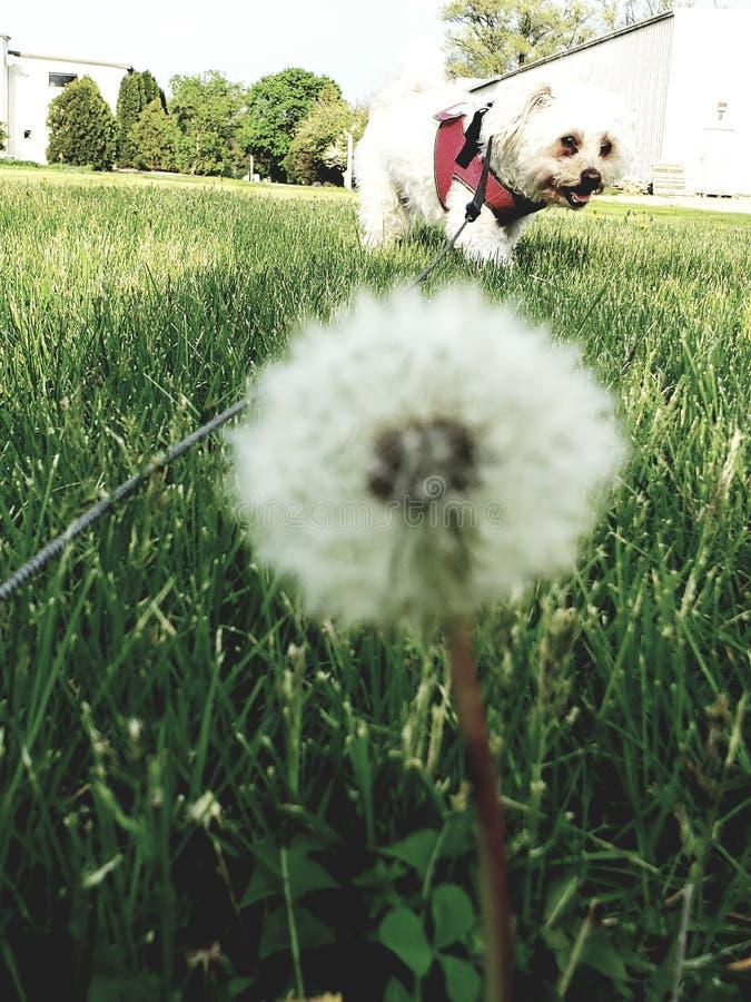 Fiore di fotografia con canino fotografia stock