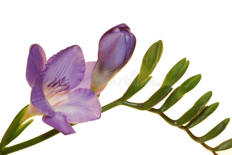 Fiore di Freesia isolato su bianco fotografia stock libera da diritti
