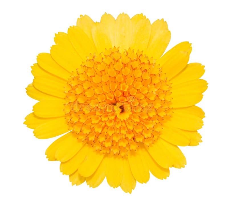 Fiore di giallo della margherita della gerbera isolato su bianco immagine stock