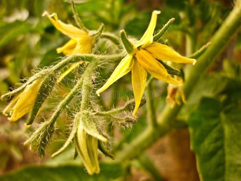Fiore di giallo di pomodoro immagini stock