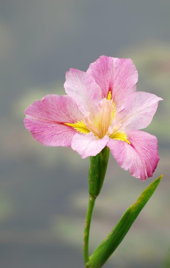 Fiore di gladiolo fotografie stock libere da diritti