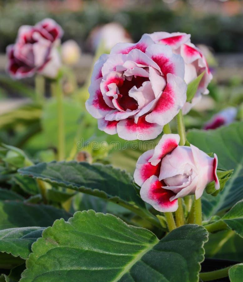 Fiore di Gloxinia immagine stock