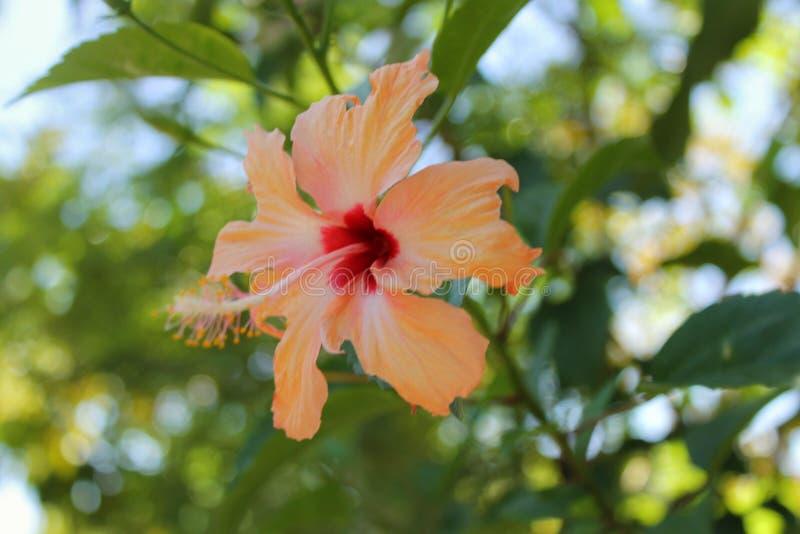 Fiore di Gumamela immagini stock