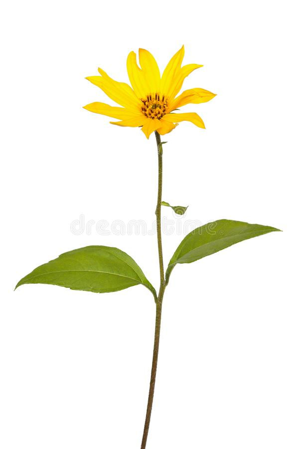 Fiore di helianthus tuberosus del topinambur fotografie stock libere da diritti