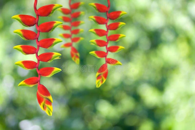 Fiore di Heloconia fotografie stock
