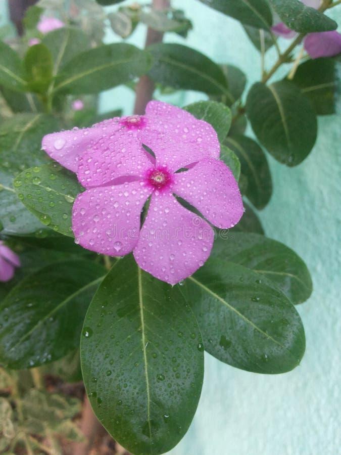 Fiore di Herbel fotografia stock