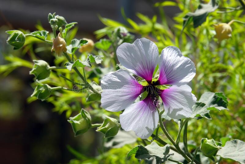 Fiore di Hibiscus bianco e rosa - Hibiscus fotografia stock libera da diritti