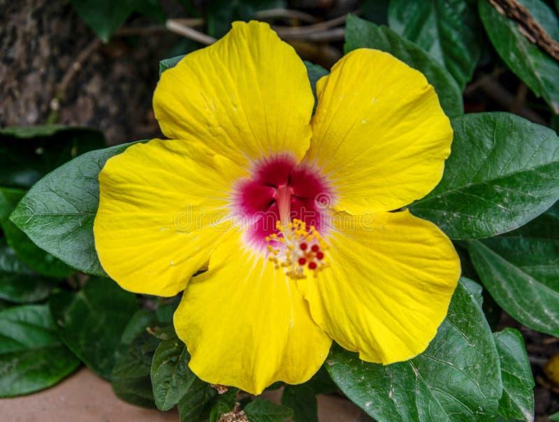 Fiore di ibisco giallo fotografia stock