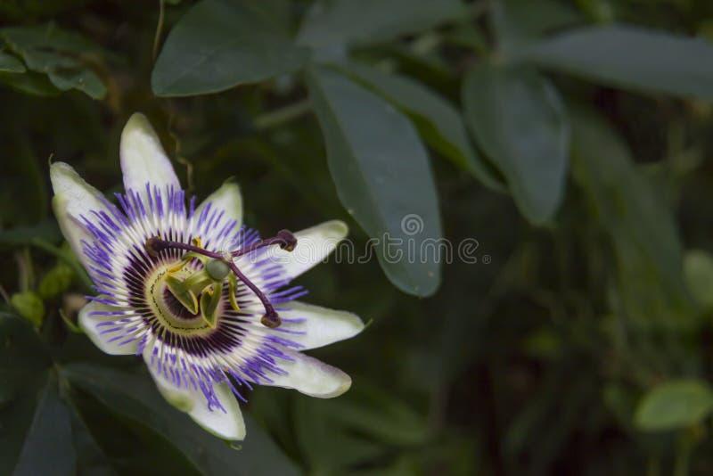 Fiore di incarnata della passiflora come fiore di passione fotografie stock libere da diritti