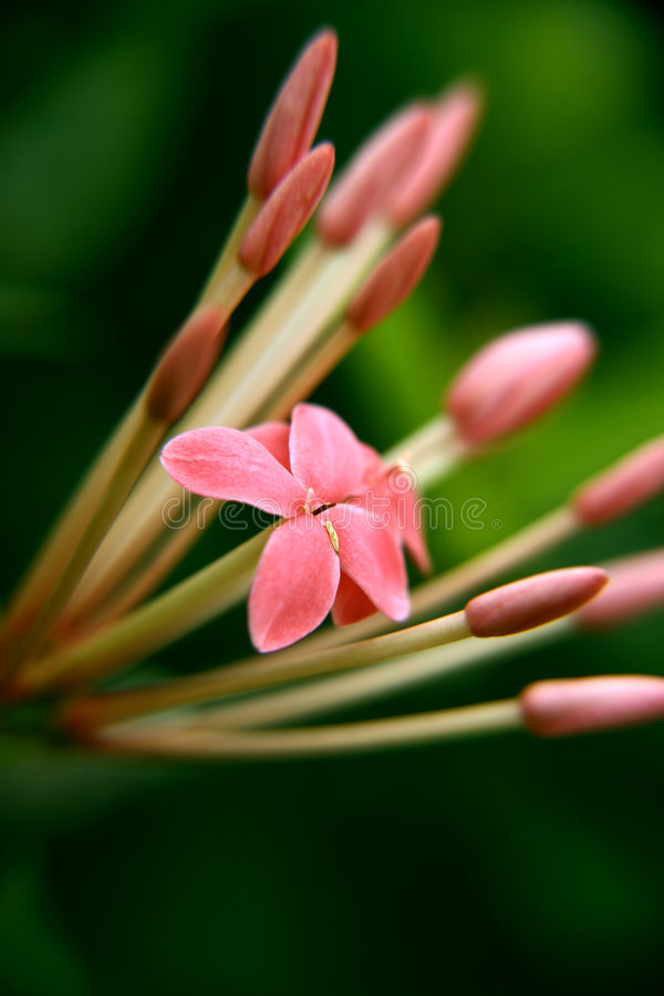 Download Fiore di Ixora immagine stock. Immagine di fresco, fioritura - 213911