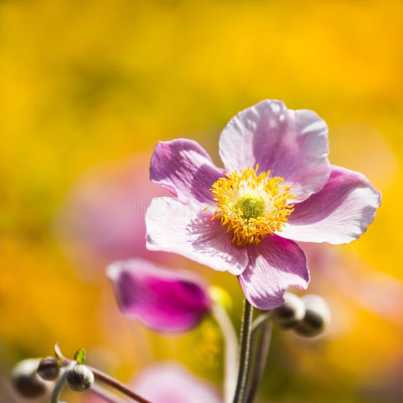 Fiore di japonica giapponese dentellare del Anemone o del Anemone fotografia stock libera da diritti