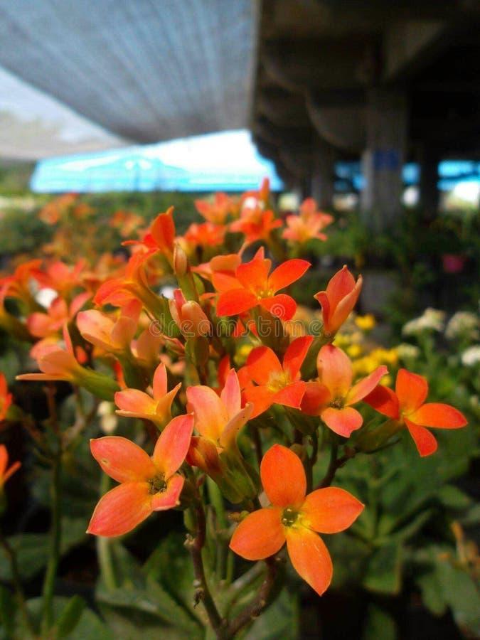 Fiore di Kalanchoe immagine stock