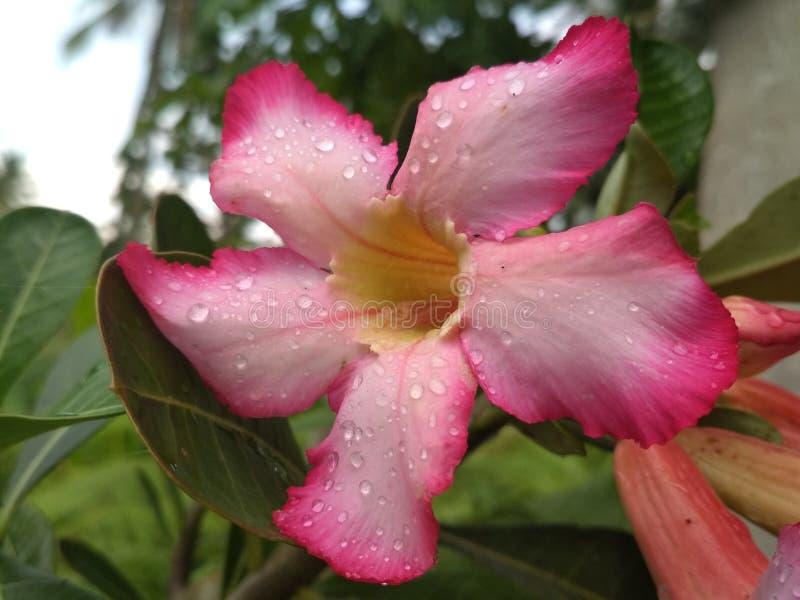 Fiore di Kamboja in pioggia fotografia stock