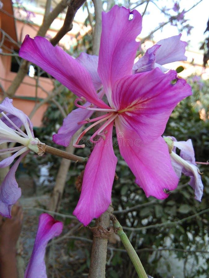 Fiore di Kanchan fotografia stock