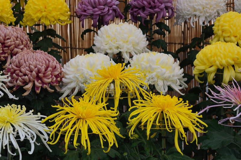 Fiore di Kiku, crisantemo Gran-fiorito giapponese fotografia stock libera da diritti