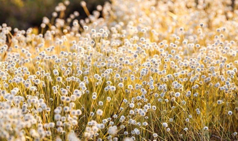Fiore di Kradumngen fotografie stock