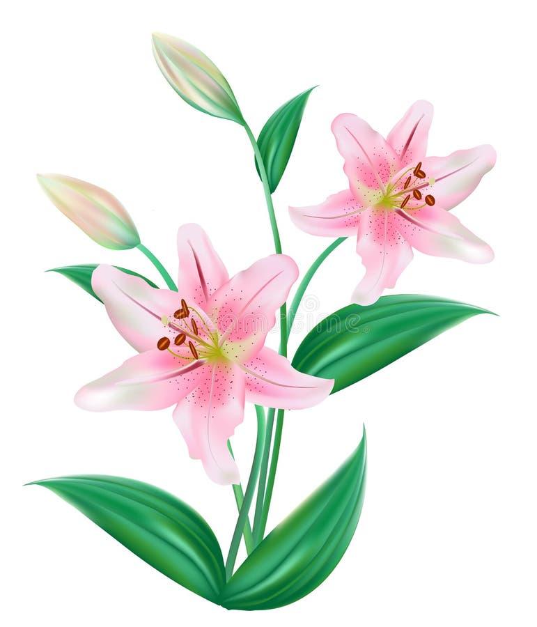 Fiore di Lilly isolato illustrazione vettoriale