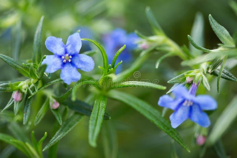 Fiore di Lithodora Rosmarinifolia in fioritura immagini stock libere da diritti