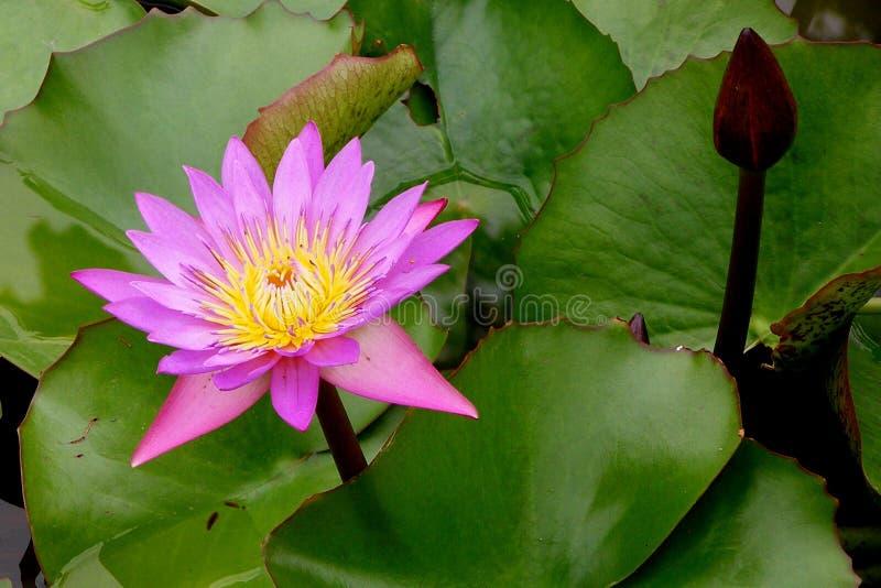 Fiore di loto fotografia stock libera da diritti