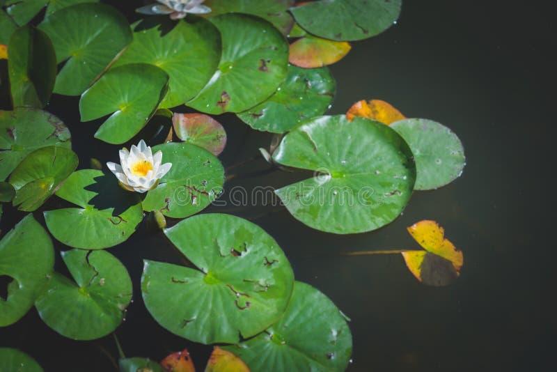 Fiore di loto 3 fotografie stock libere da diritti