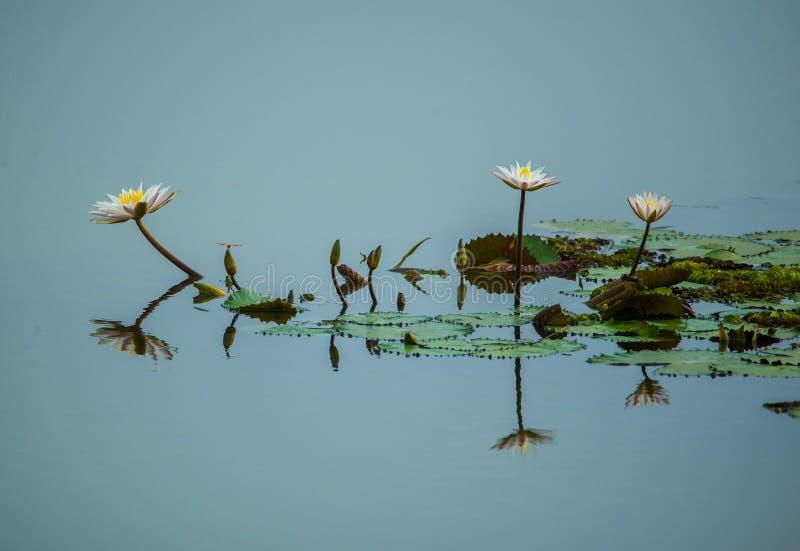 Fiore di loto bianco fotografia stock libera da diritti