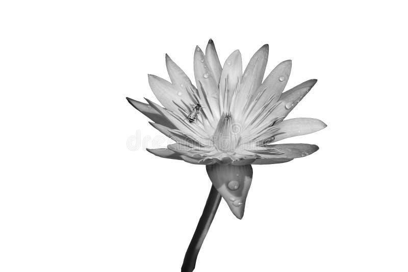 Fiore di loto in bianco e nero illustrazione vettoriale