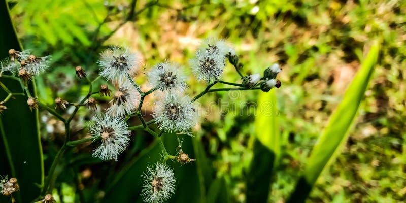 Fiore di loto bianco fotografie stock libere da diritti