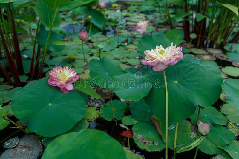 Fiore di loto del fiore in uno stagno immagini stock libere da diritti