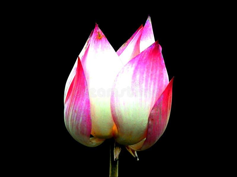 fiore di loto gemellato immagini stock