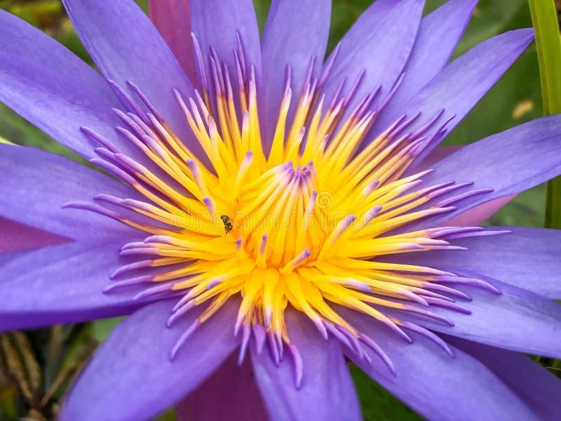 Fiore di loto porpora con il polline di giallo della mosca di ape immagini stock libere da diritti