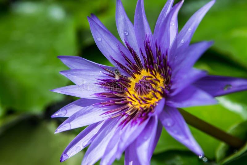 Fiore di loto porpora con il polline di giallo della mosca di ape fotografie stock libere da diritti