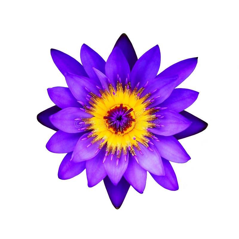Fiore di loto porpora del primo piano su un fondo bianco: Vista superiore immagini stock libere da diritti